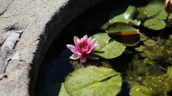 Un néuphar dans un bassin avec des plantes aquatiques